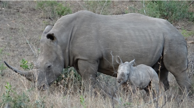 Durban safari tour; Rhino and calf