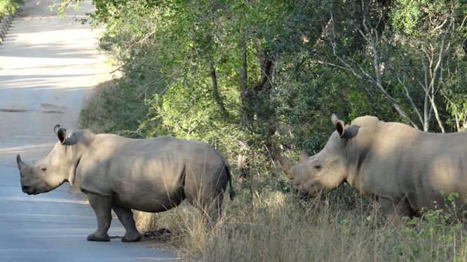 Durban safari tour; Rhino cross the road
