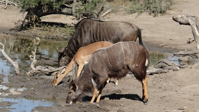 Durban safari tour; Wildebeest, Impala and Nyala drinking together
