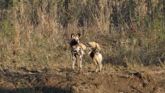 Durban safaris; African wild dog