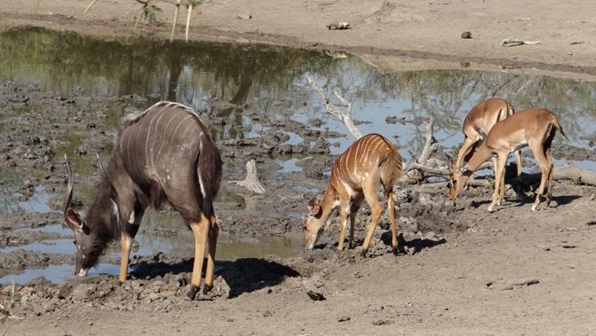 Durban safaris; Antelope drinking