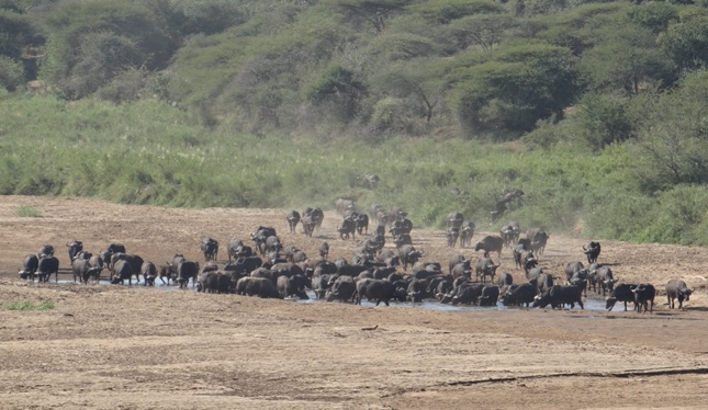 Durban safaris; Buffalo herd