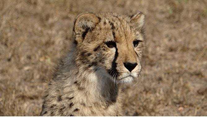 Durban safaris; Cheetah cub