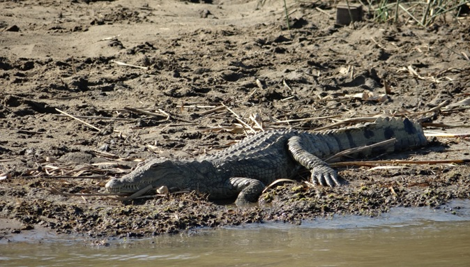 Durban safaris; Crocodile
