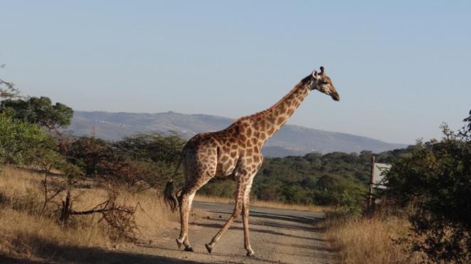 Durban safaris; Giraffe