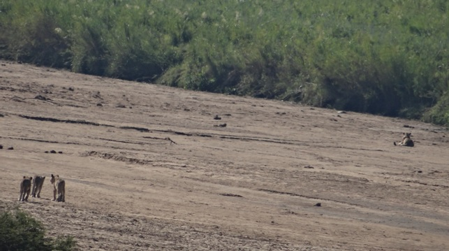 Durban safaris; Lions in walking in river bed