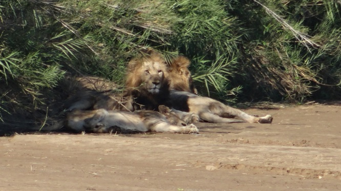 Durban safaris; Lions resting in river bed