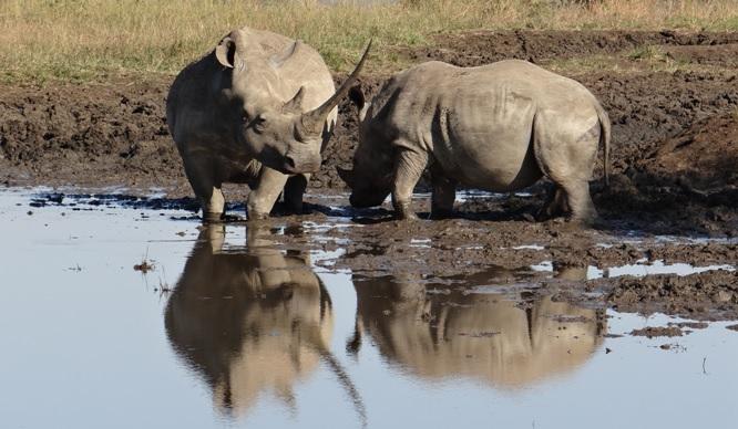 Durban safaris; Rhino reflection