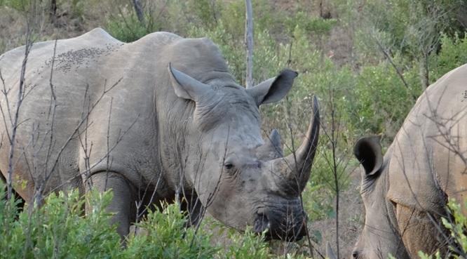 Durban safaris; Rhino