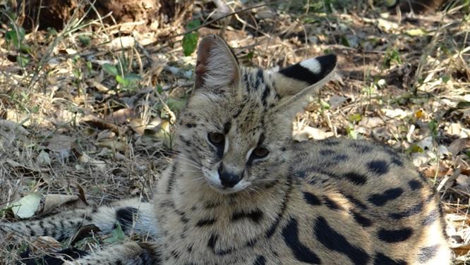 Durban safaris; Serval