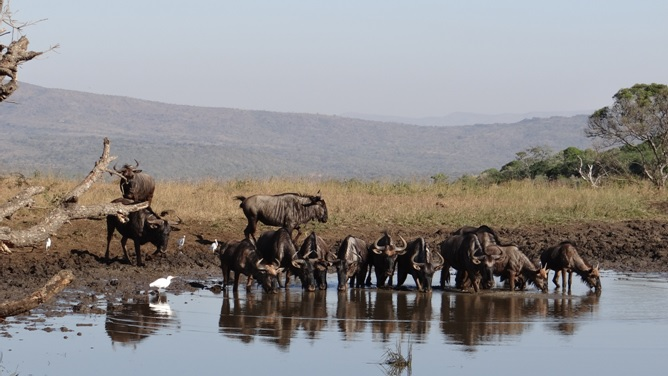 Durban safaris; Wildebeest drinking