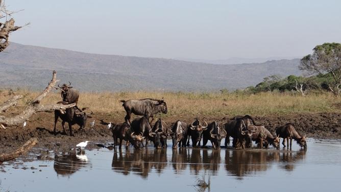 Durban safaris; Wildebeest drinking