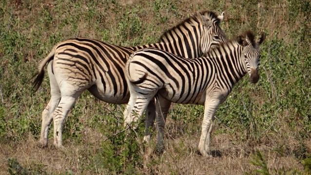 Durban safaris; Zebra