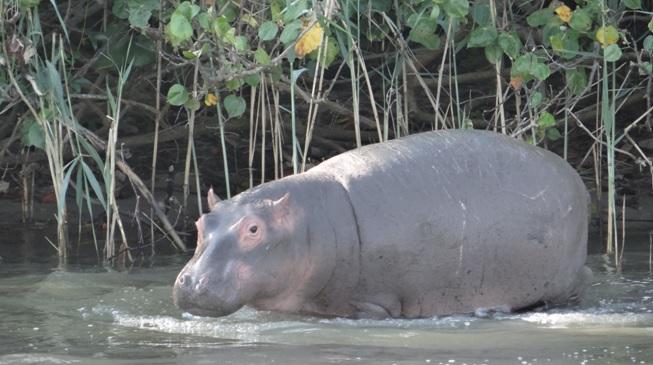 Durban safaris; baby Hippo
