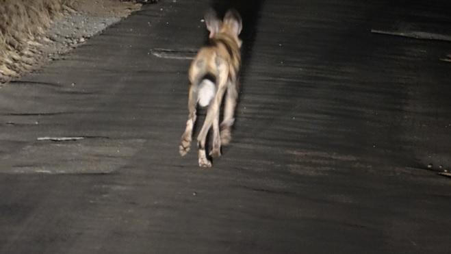 Safari from Durban; African wild dog