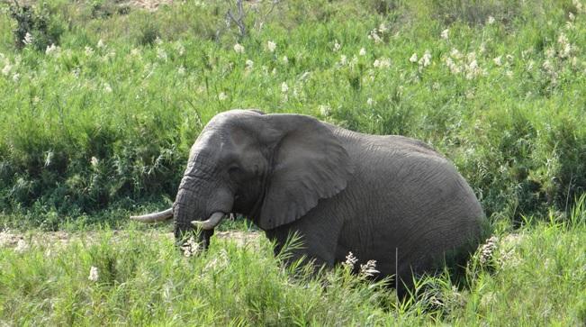 Safari from Durban; Bull Elephant
