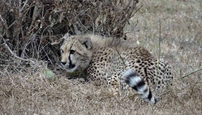 Safari from Durban; Cheetah cub at Cat rehabilitation center