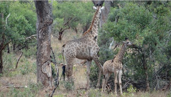 Safari from Durban; Giraffe