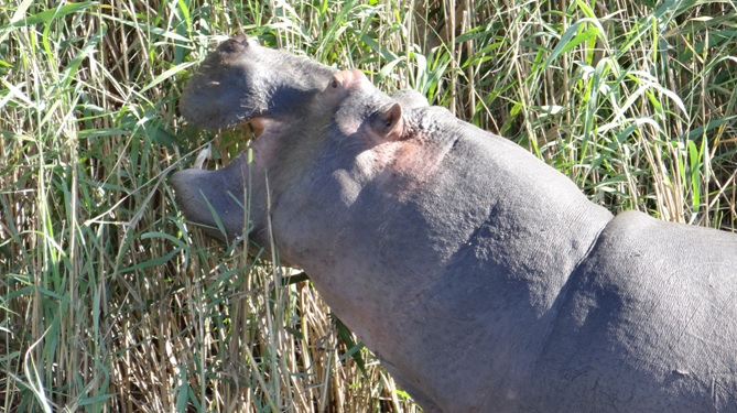 Safari from Durban; Hippo at St Lucia