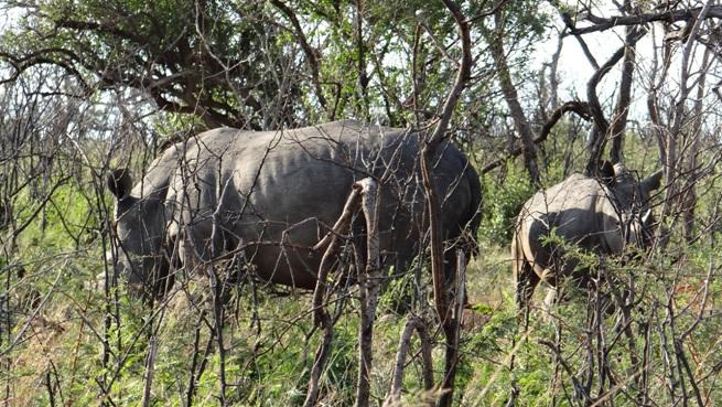 Safari from Durban; Rhinos hiding