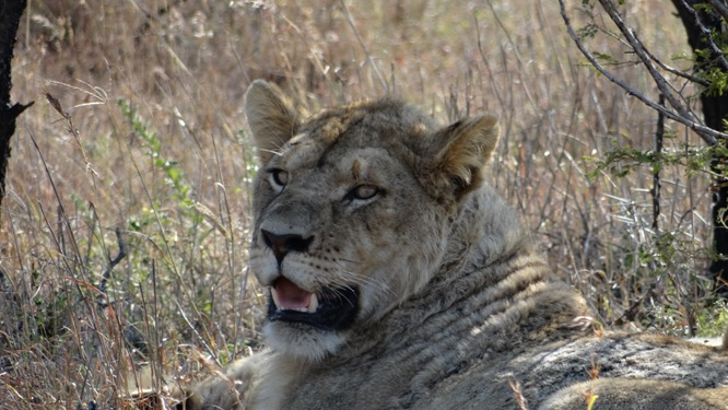Safari from Durban; Young male Lion