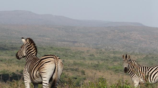 Safari from Durban; Zebras look over Umfolozi
