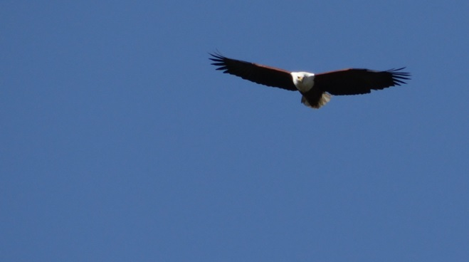 St Lucia day tour; African Fish eagle in flight