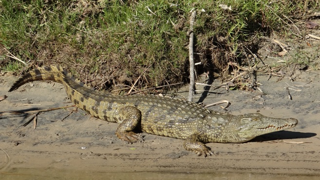 St Lucia day tour; Crocodile in Estuary