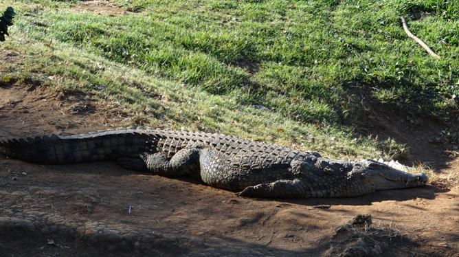 Tala day tour; Crocodile