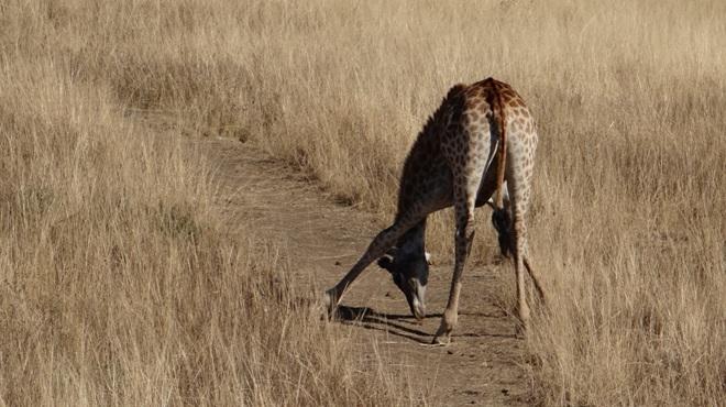 Tala day tour; Giraffe looking for bones