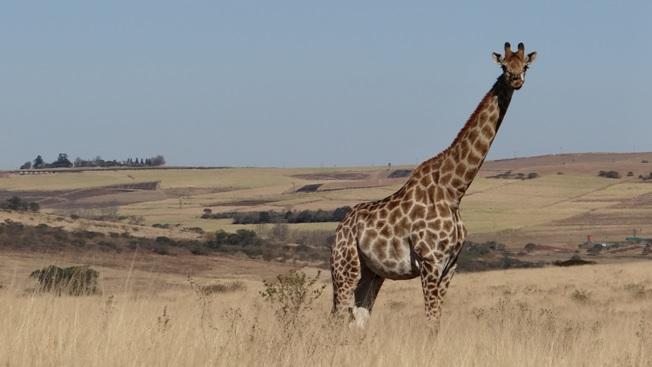 Tala day tour; Giraffe pose