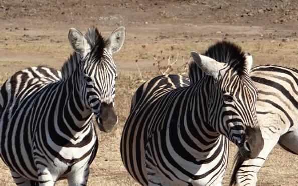 Tala day tour; Zebra