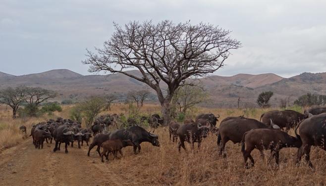 Big 5 safari from Durban, Buffalo