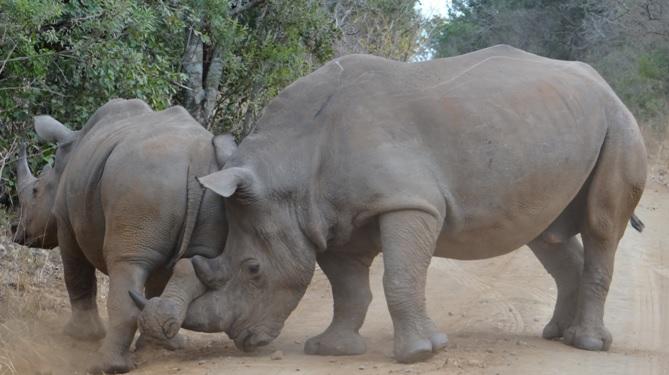 Big 5 safari from Durban, Rhino fighting 1