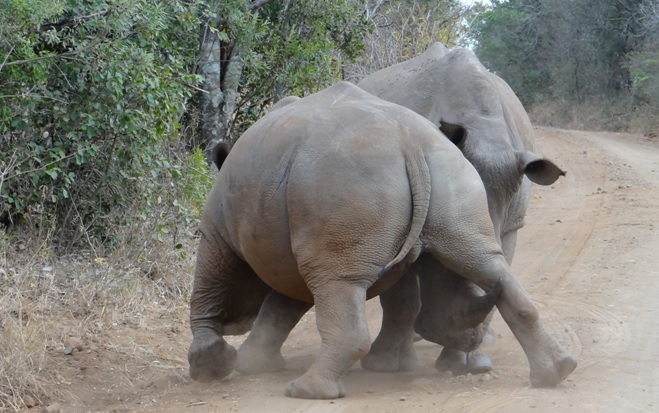 Big 5 safari from Durban, Rhino fighting 2