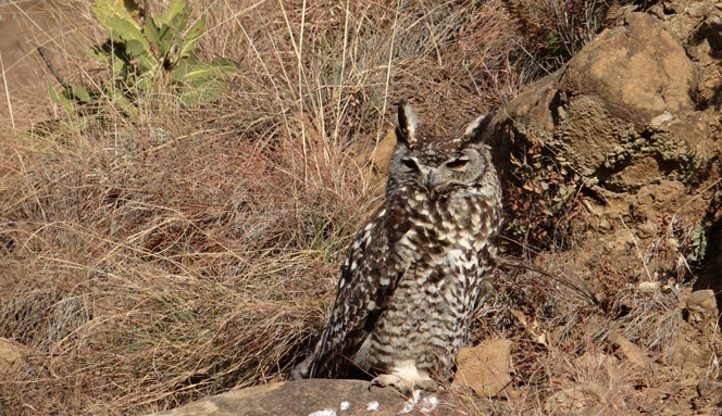 Drakensberg tour; Spotted eagle owl
