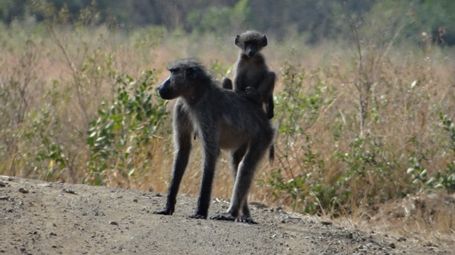 Durban day safari; Baboons