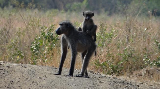 Durban day safari; Baboons