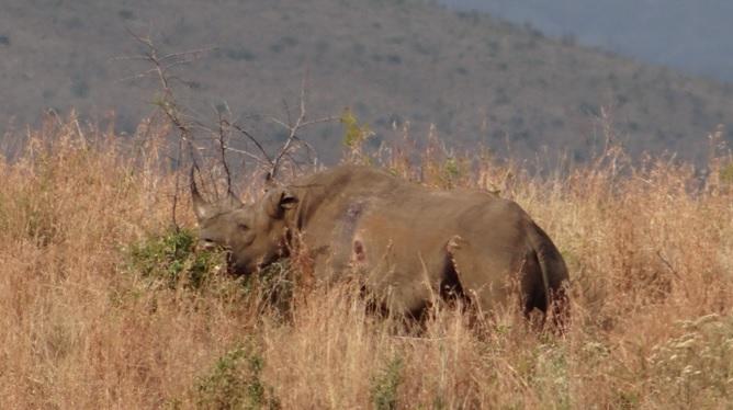 Durban day safari; Black Rhino browsing