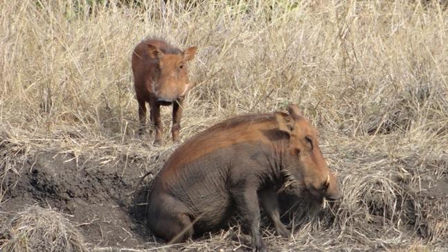 Durban day safari; Warthog scratching