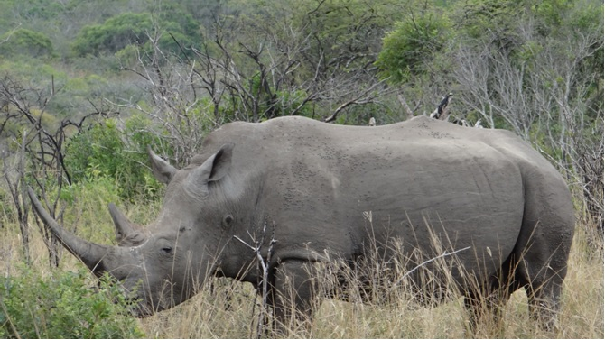 Durban day safari; White Rhino