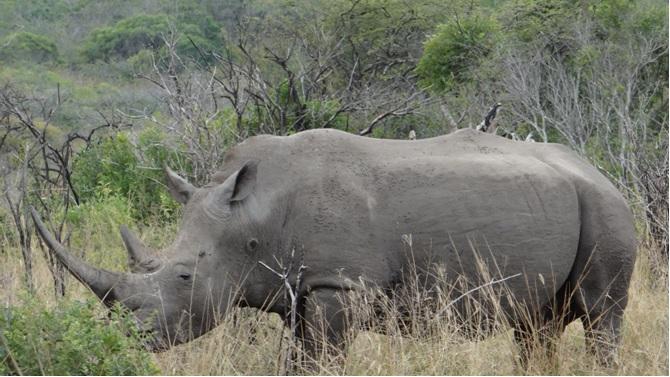 Durban day safari; White Rhino