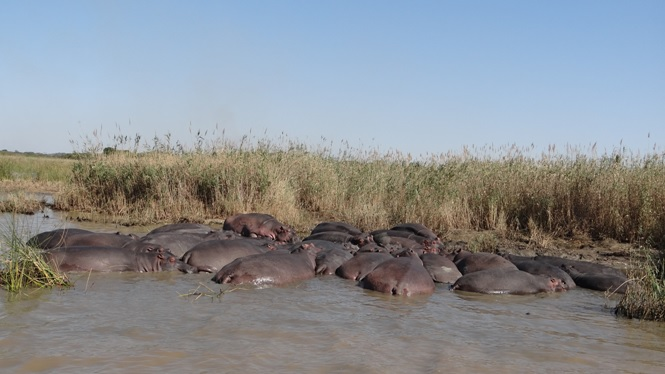 Durban day tour; Big pod of Hippo