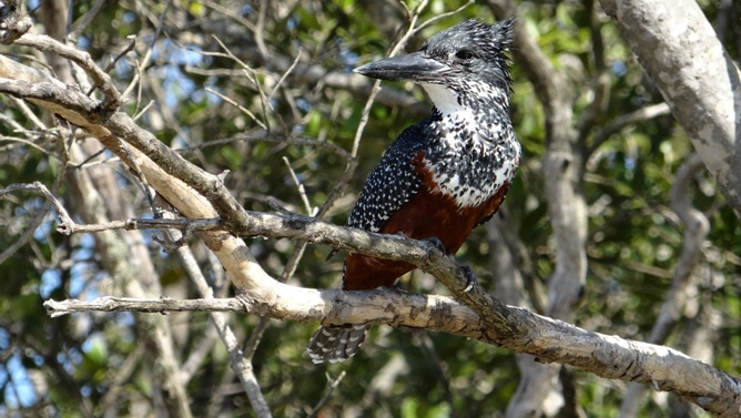 Durban day tour; Giant Kingfisher