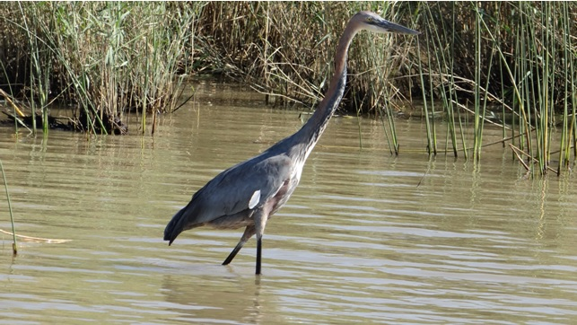Durban day tour; Goliath Heron