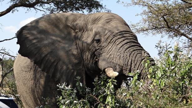 Hluhluwe Big 5 Safari; Elephant