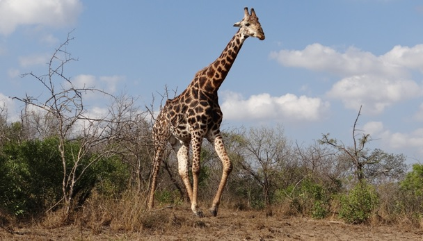 Hluhluwe Big 5 Safari; Giraffe