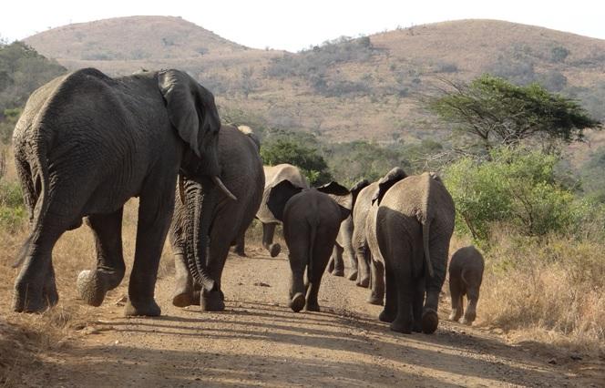 Hluhluwe Big 5 Safari; Herd of Elephants