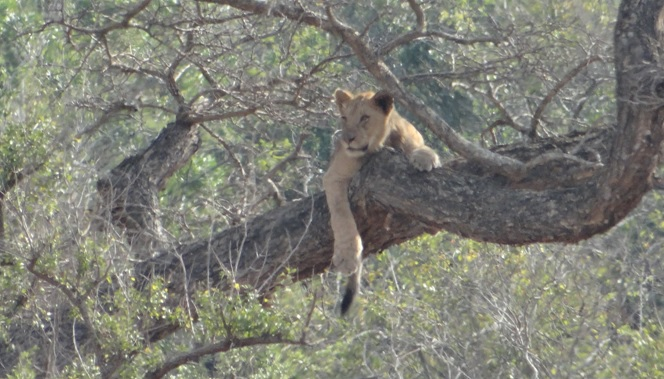 Hluhluwe Big 5 Safari; Lion cub in tree