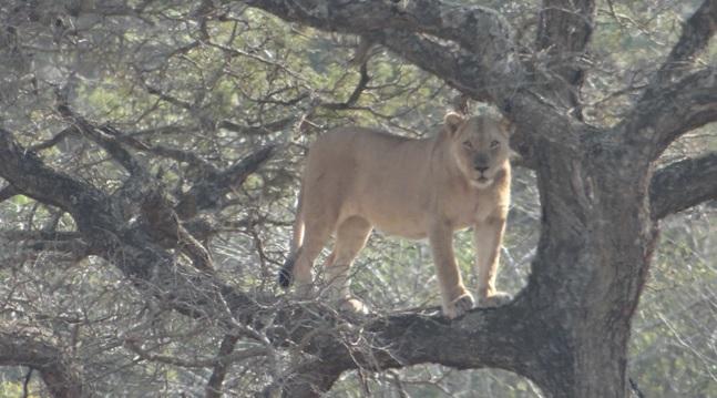 Hluhluwe Big 5 Safari; Lioness in tree